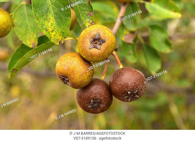 Mediterranean wild pear (Pyrus spinosa or Pyrus amygdaliformis) is a deciduous tree native to north Mediterranean Basin, from Spain to Turkey