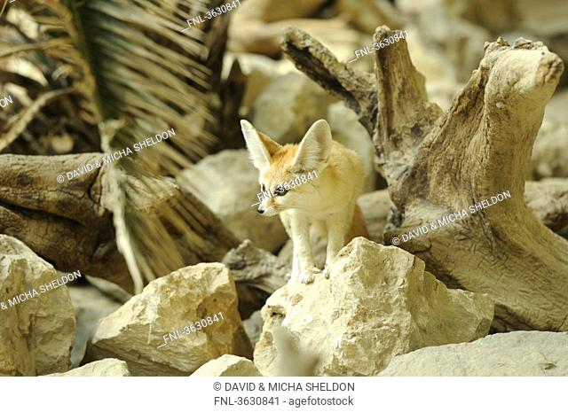 Fennec Fox Vulpes zerda looking around