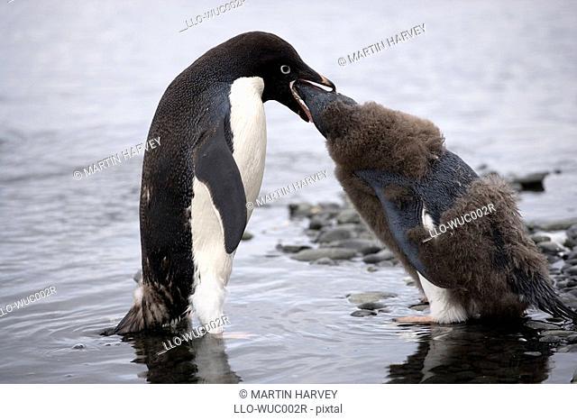 Adelie Penguin Pygoscelis adeliae Mother Feeding Chick  Antarctica