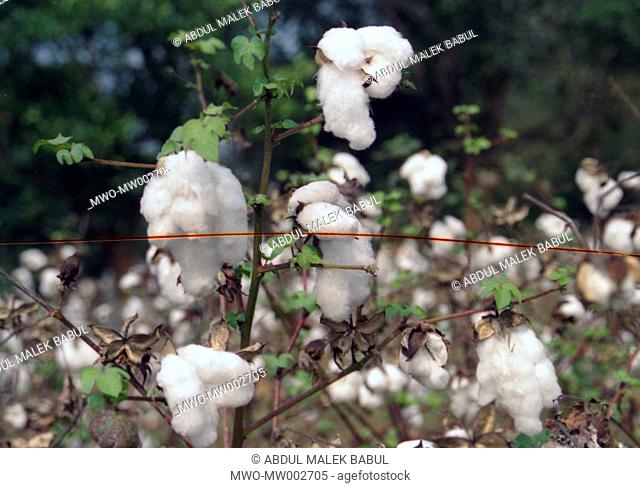 A cotton field in a full bloom Two varieties of cotton are produced in Bangladesh, namely Shimul and Karpas Bangladesh was once known all over the world for its...