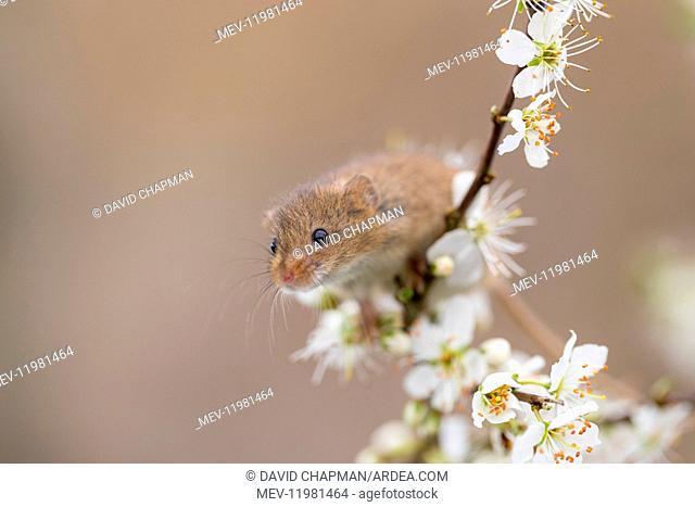 Harvest Mouse - on Blackthorn Blossom - Devon - UK