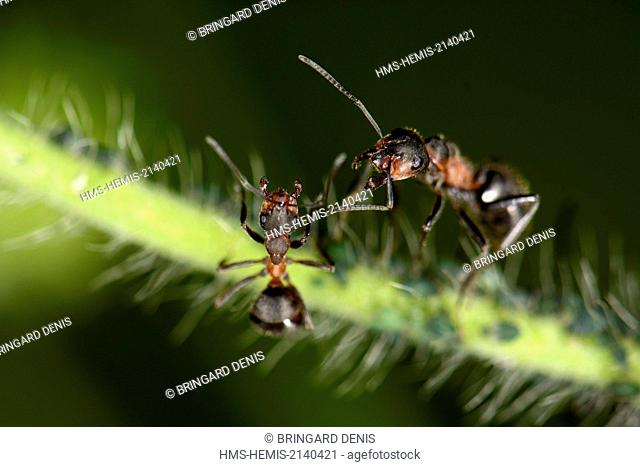 France, Haut Rhin, Munster, red ant milking aphids on a rod of Knautia arvensis