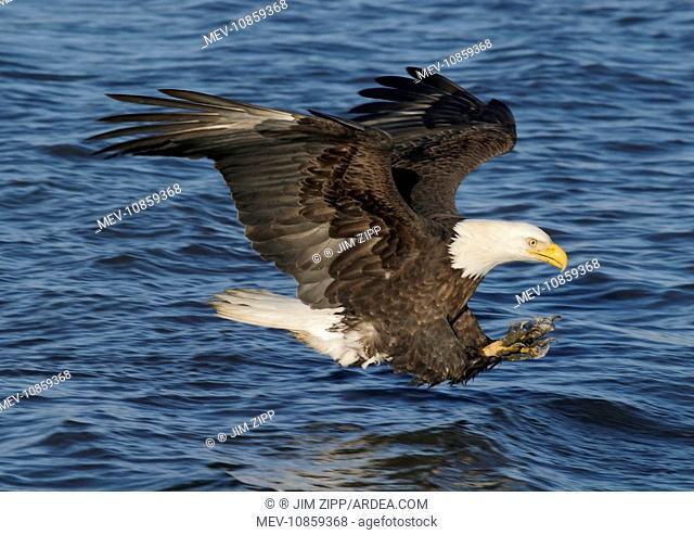 Adult Bald Eagle - fishing the waters of Homer Alaska. (Haliaeetus leucocephalus). USA. Distribution: Alaska, Canada and USA