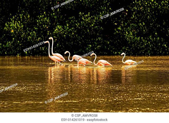 Red flamingos in bays of Celestun city
