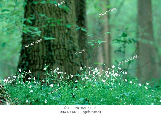 Greater Stitchwort Lower Saxony Germany Stellaria holostea