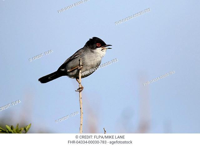 Sardinian Warbler (Sylvia melanocephala) adult male, singing, perched on twig, Cyprus, April