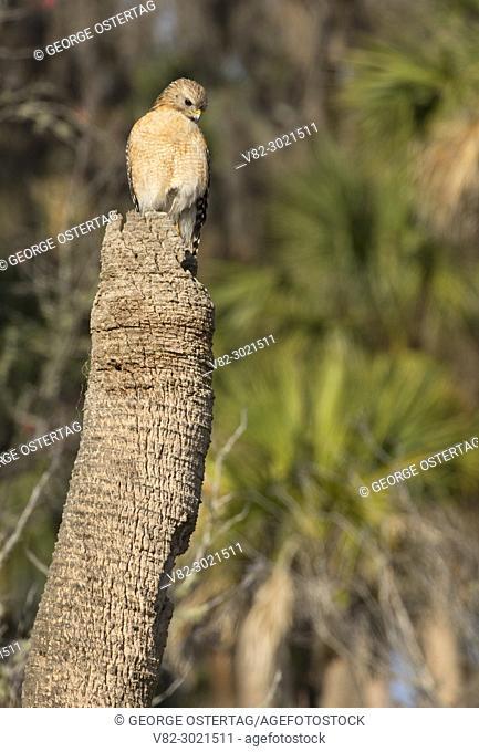 Red-shouldered hawk (Buteo lineatus), Orlando Wetlands Park, Florida