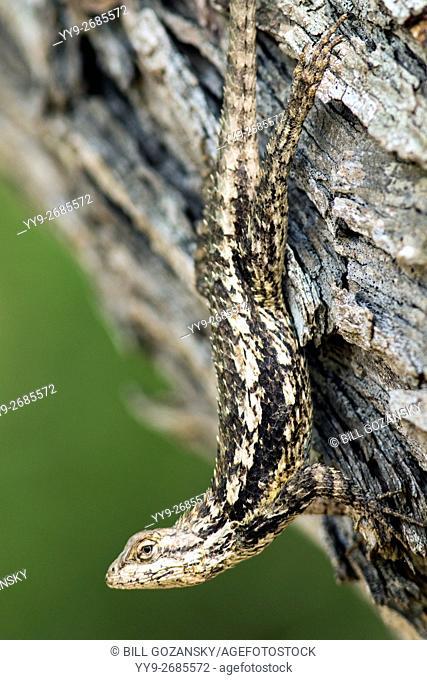 Texas Spiny Lizard (Sceloporus olivaceus) - Camp Lula Sams - Brownsville, Texas USA