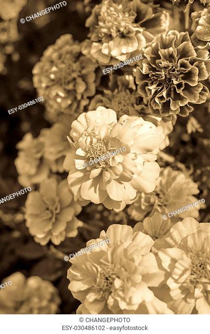 Marigold Flower Or Tagetes Patula Blossom
