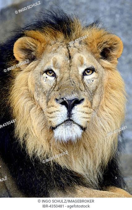 Indian lion (Panthera leo persica), portrait, male, captive