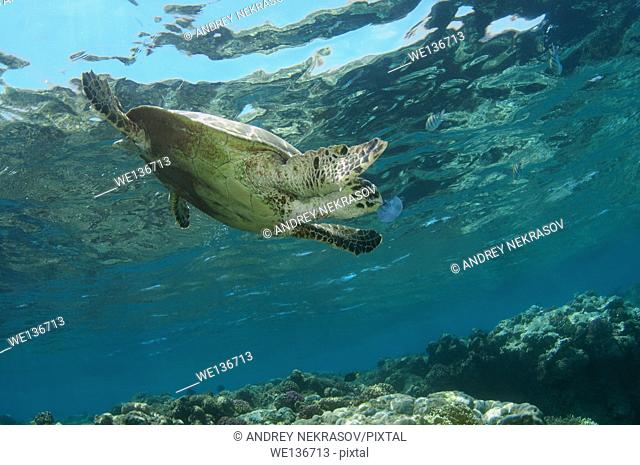 hawksbill sea turtle (Eretmochelys imbricata) eating jellyfish, Red sea, Abu Dabab, Marsa Alam, Egypt