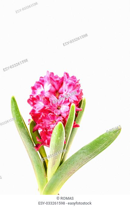Pink hyacinth on white background. Image of love and beauty. Natural background and design element