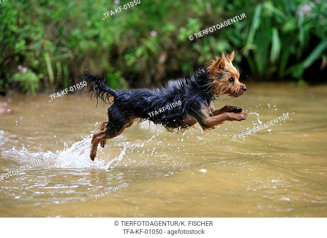 Yorkshire Terrier in water