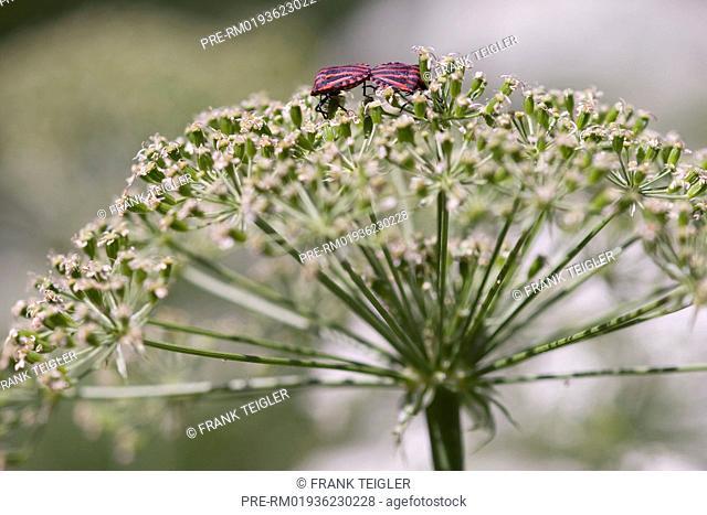 Two Striped Shield Bugs (Graphosoma lineatum) on Laserwort (Laserpitium siler) / Zwei Steifenwanzen (Graphosoma lineatum) auf Berg-Laserkraut (Laserpitium...