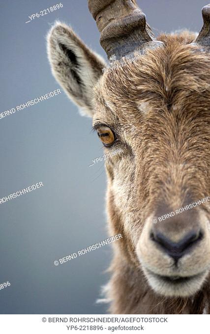 portrait of a male Alpine Ibex (Capra ibex), Niederhorn, Bernese Oberland, Switzerland