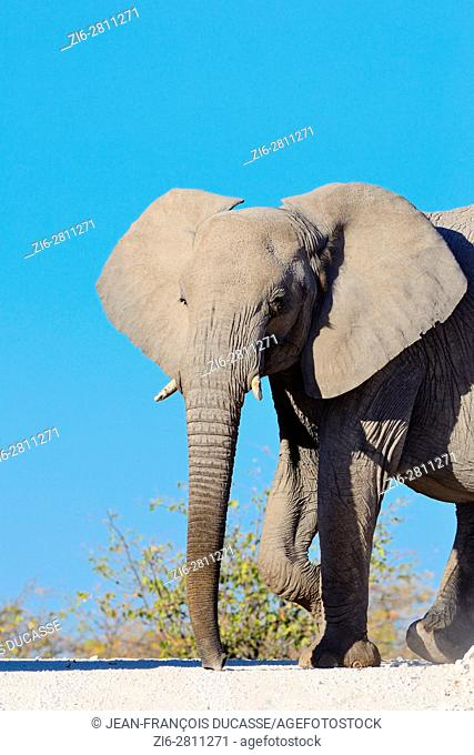 African bush elephant (Loxodonta africana), adult female walking on a dirt road, Etosha National Park, Namibia, Africa