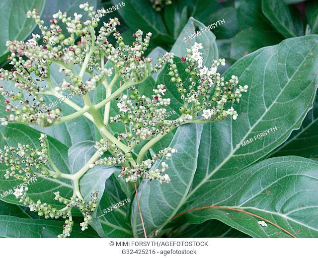 Tree Heliotrope (Tournefortia argentea)
