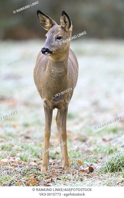Roe Deer, Capreolus capreolus, Winter, Germany, Europe