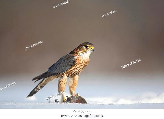 merlin Falco columbarius, male sitting on a snow-covered lawn feeding on a caught bird