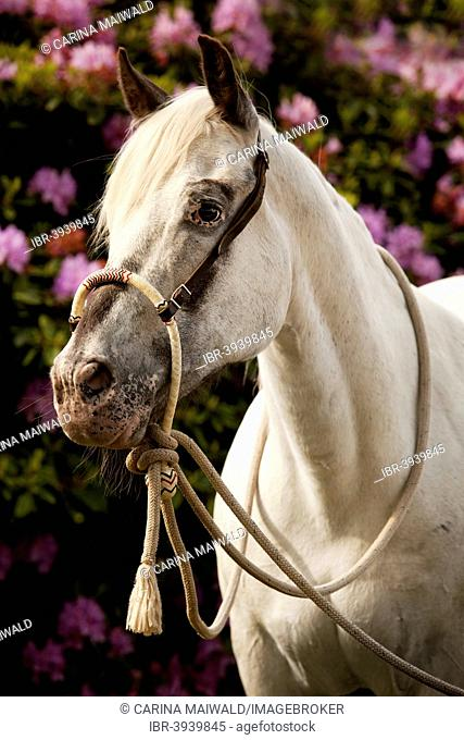 POA, Pony of the Americas, white horse wearing a Bosal hackamore, a bitless bridle used in Western style riding, in front of pink flowers