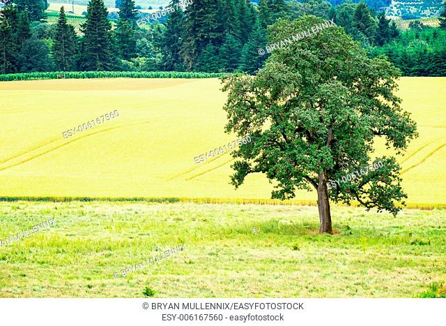 Tree next to a field of crops, Willamette Valley, Oregon