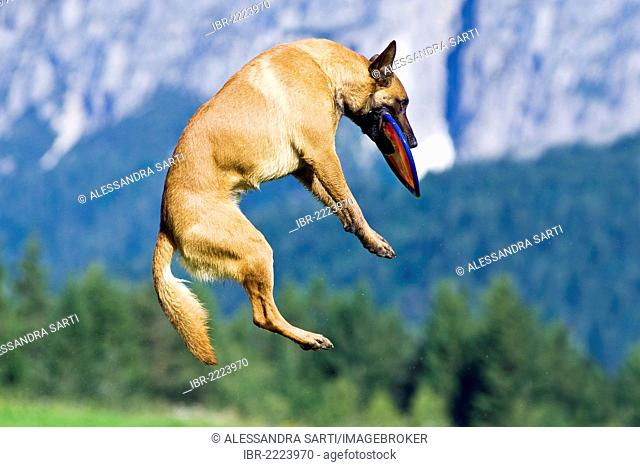 Belgian Shepherd or Malinois catching a frisbee in the air, North Tyrol, Austria, Europe