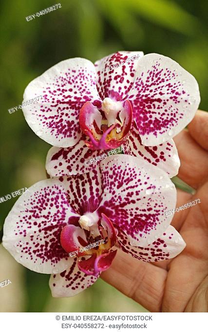 Orchid. Phalaenopsis