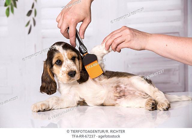 brushing an English Cocker Spaniel Puppy