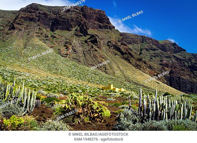 Canary Island spurge (Euphorbia canariensis) Indian fig (Opuntia ficus-indica) in Punta Teno