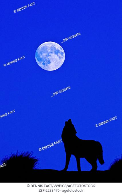 Digital composite of Gray Wolf (Canis lupus) silhouette Grey Wolf howling at the full moon in Monument Valley, Arizona, USA