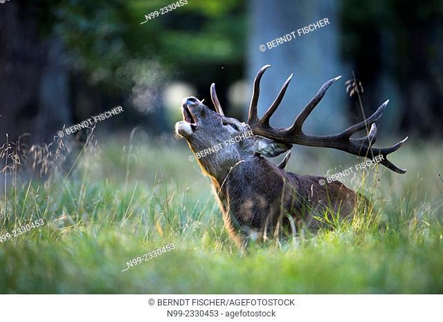 Red deer (Cervus elaphus), rut, Denmark