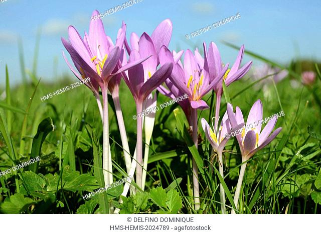 France, Doubs, flora, autumn crocus, Crocus autumn, bunch of flowers in a meadow against a blue sky