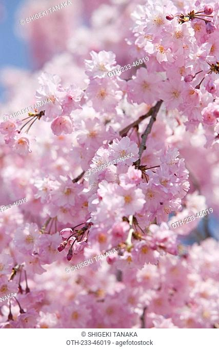 Cherry blossom at Sasayama-jo castle, Sasayama, Hyogo Prefecture, Japan