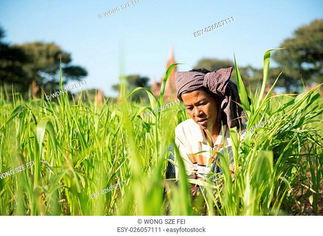 Portrait of a Asian Burmese farmer with turban working under hot sun at corn field