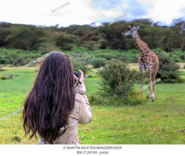 Young female photographer taking pictures of a Masai Giraffe (Giraffa camelopardalis tippelskirchi), Lake Naivasha, Kenya, East Africa, Africa, PublicGround