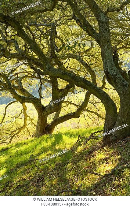 USA, California, Contra Costa County, San Francisco Bay Area, Kennedy Grove Regional Park, grove of Coast Live Oaks Quercus agrifolia on a hillside