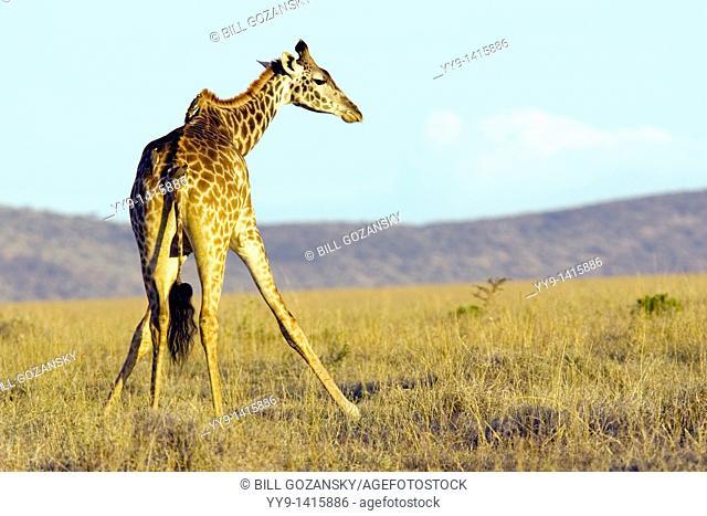 Lone Masai Giraffe - Masai Mara National Reserve, Kenya