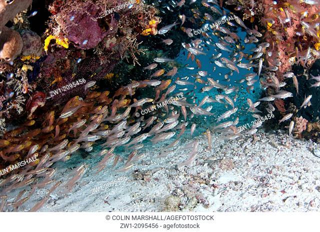 School of Silver Sweepers (Pempheris schwenkii) around coral, Manta Sandy, Dampier Straits, Raja Ampat, West Papua, Indonesia