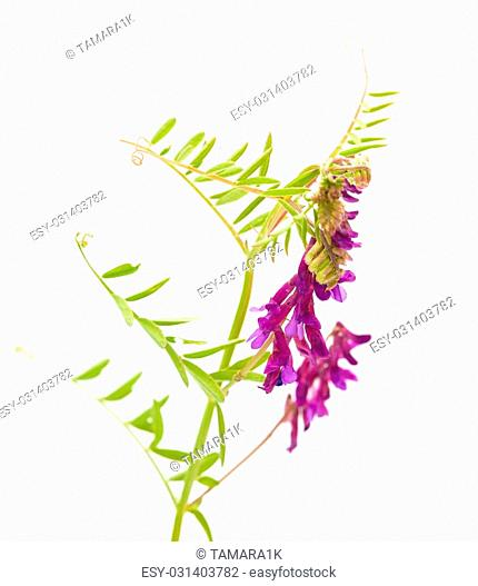 fodder vetch isolated on white background