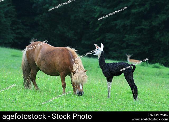 Lamababy mit Ponny