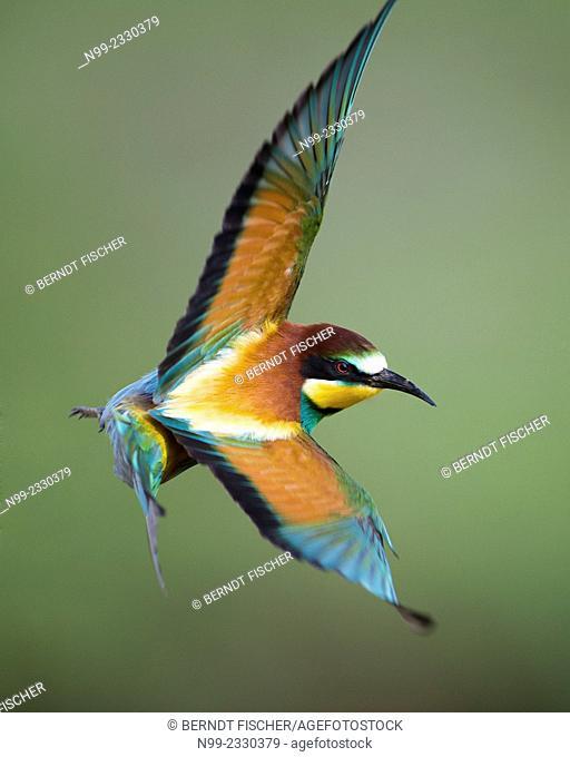 Bee-eater (Merops apiaster), flying, Bulgaria