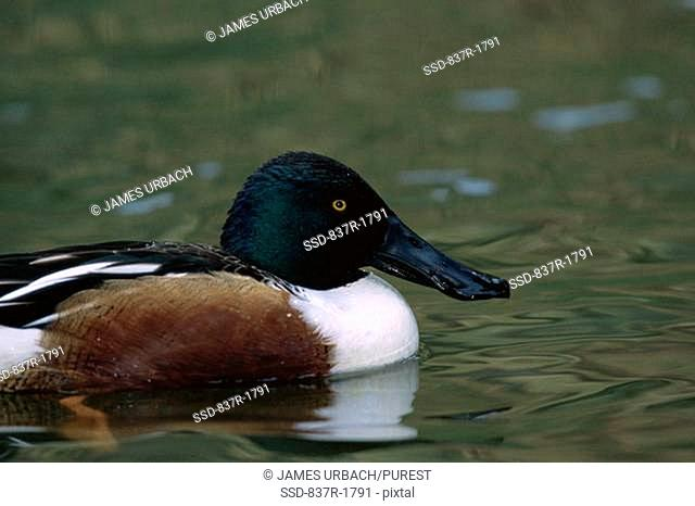 Northern Shoveler floating on water Anas clypeata