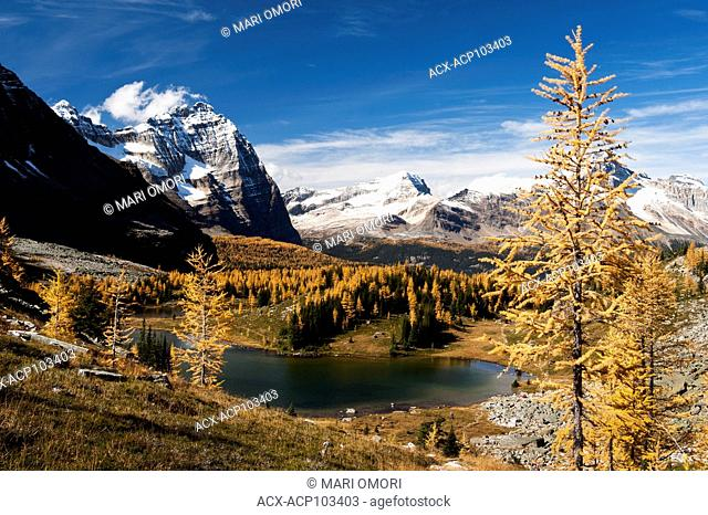 Golden Larches glow in the sun in Yoho National Park