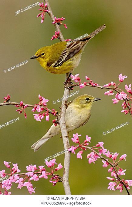 Pine Warbler (Setophaga pinus) pair, Texas