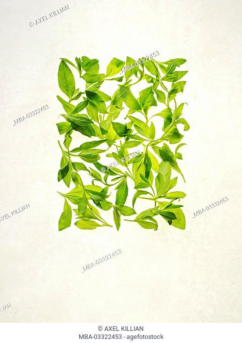 Campion, Silene album, leaves, green