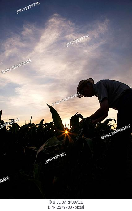 Farmer checks knee high corn at sunrise; England, Arkansas, United States of America