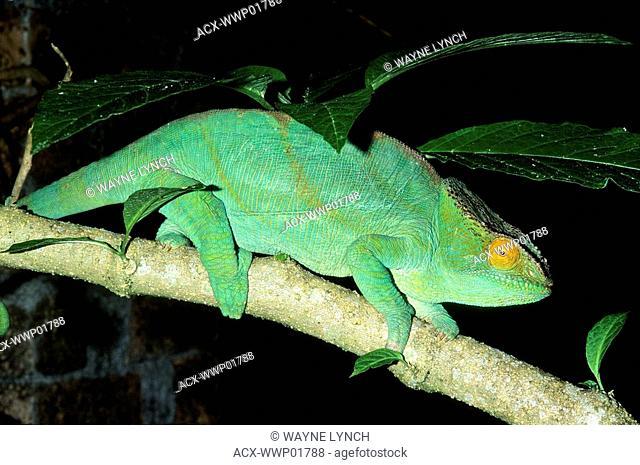Adult male Parson's chameleon Calumma parsonii, Madagascar