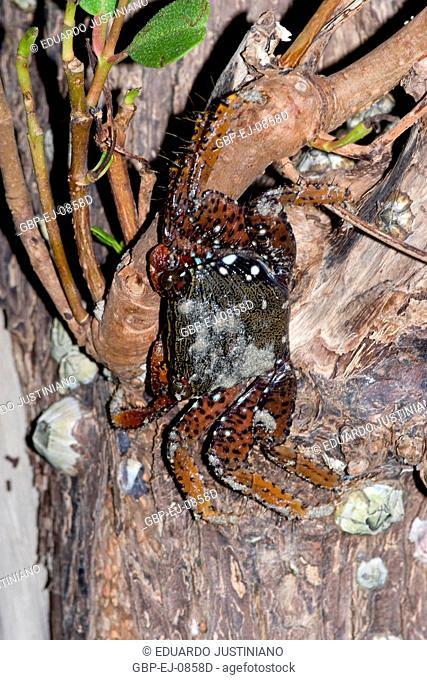 Crab, Crustaceous, Decapoda, Itamaracá, Pernambuco, Brazil