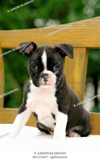 Boston Terrier. Puppy sitting on a bench in a garden. Germany
