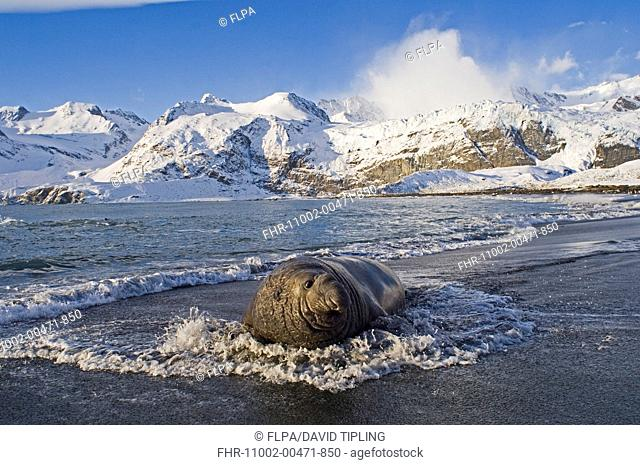 Southern Elephant-seal Mirounga leonina adult male, in surf on beach, with snow covered mountains in background, Gold Harbour, South Georgia, november